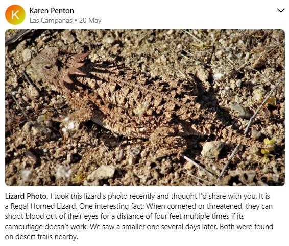 Regal Horned Lizard 5 20.PN