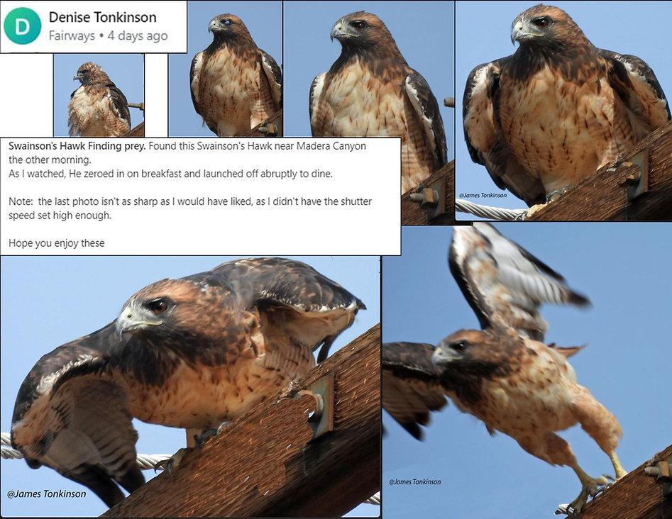 Denise Tonkinson Swansons Hawk finding p