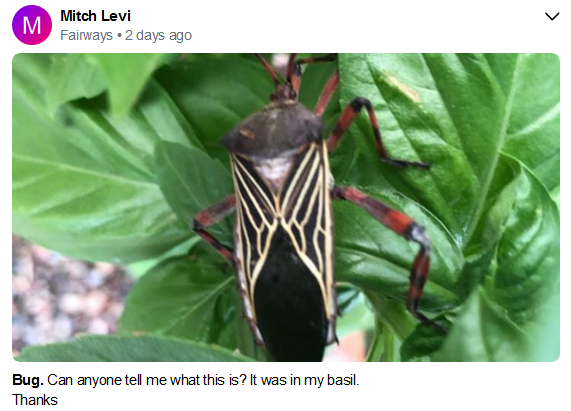 Mitch Levi Adult Mesquite Bug.PNG