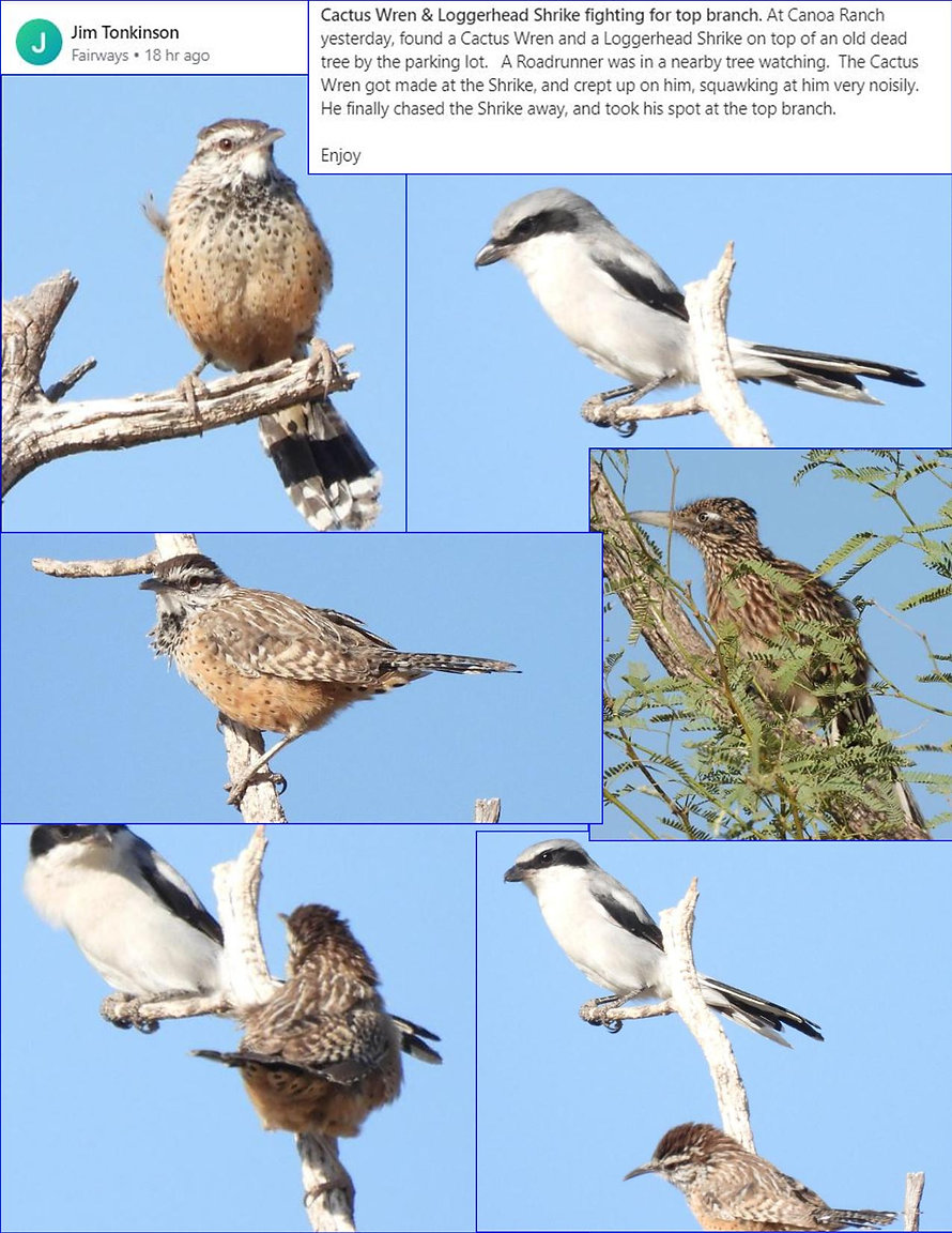 Jim tonkinson cactus wren and loggerhead