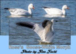 Ross's  Goose-White Morph web.jpg