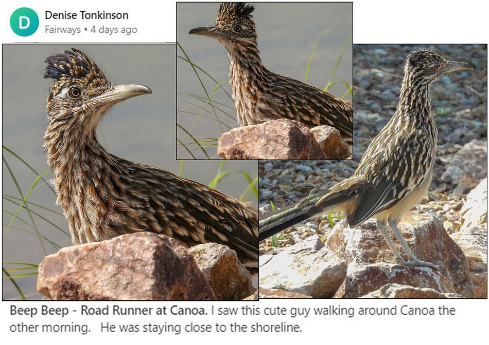 Denise Topnkinson Roadrunner at canoa la