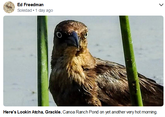 Ed Freedman Grackle July 2020.PNG