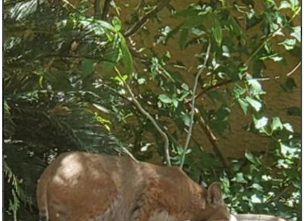 Bobcat in Birdbath
