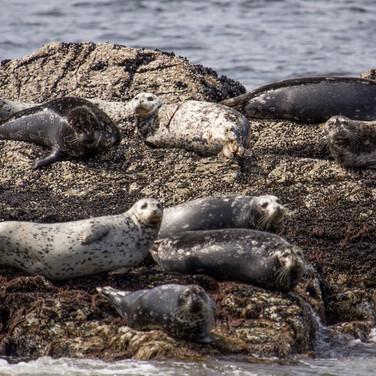Help Rescue Seals