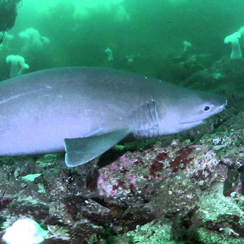 Six Gill Sharks in Howe Sound: Vancouver Aquarium