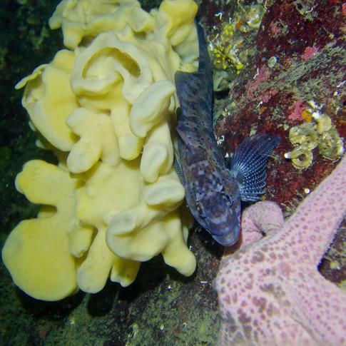 Ling Cod Egg Mass Survey: Vancouver Aquarium