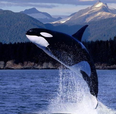 BC Cetacean Sightings Network: Wild Whales