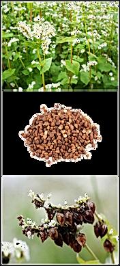 Blé noir fleur graine.png