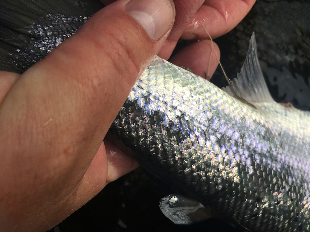Sea Lice on the Salmon