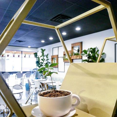 Coffee plants at Zen Coffee Bar
