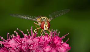 Fliege Schwebfliege (1) Insekt Makro Fot