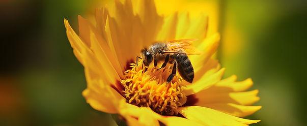 Biene_Honigbiene_Bluetenbollen_Blüte_In