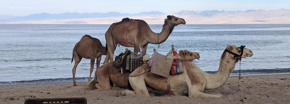 Camels on beachfront.jpg