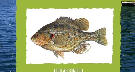 New Fish Welcomed to the Lago Santa Margarita