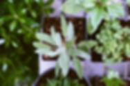 ハーブ植物