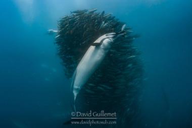 Dauphin commun à long bec (Delphinus capensis)