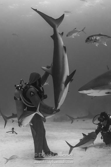 Requin gris des Caraïbes (Carcharhinus perezii), Christina Zenato