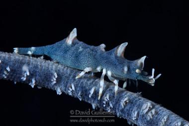 Crevette Dragon (Miropandalus hardingi)