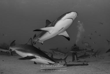 Requin gris des Caraïbes (Carcharhinus perezii),  Cristina Zenato