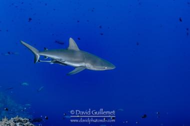 Requin gris de récif (Carcharhinus amblyrhynchos)