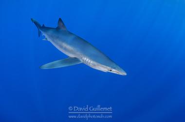 Requin bleu, Requin peau bleue (Prionace glauca)