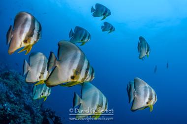 Platax à longues nageoires (Platax teira)`