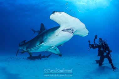 Grand Requin Marteau (Sphyrna mokarran)