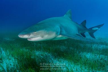 Requin Citron (Negaprion brevirostris)