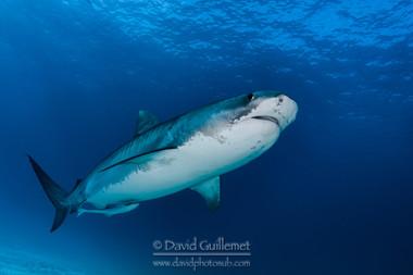 Requin Tigre (Galeocerdo cuvier)