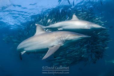 Requin Tisserand (Carcharhinus brevipinna)