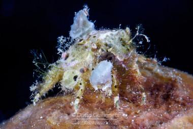 Crabe Décorateur (Tiarinia sp.)
