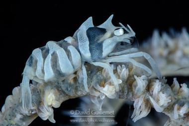 Crevette de Zanzibar (Dasycaris zanzibarica)