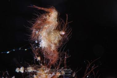 Crevette poilue mimétique (Phycocaris simulans)