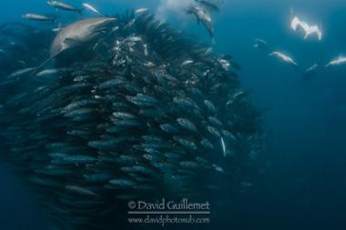 Requin obscur, Requin sombre (Carcharhinus obscurus), Fou du Cap (Morus capensis)