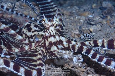 Poulpe mimétique (Thaumoctopus mimicus)