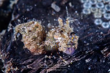 Crevette Simplex (Phyllognathia simplex)