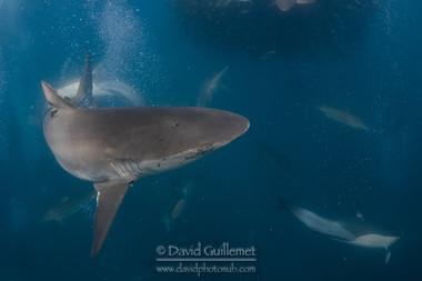 Requin obscur, Requin sombre (Carcharhinus obscurus)