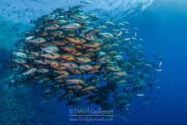 Two-spot red snapper (Lutjanus bohar) - Ras Mohammed - Red Sea - Egypt
