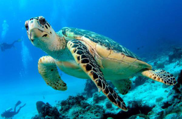 Koh-Tao-White-Rock-Green-Turtle