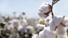 MT fecha safra com 2ª maior produção de algodão em caroço da história