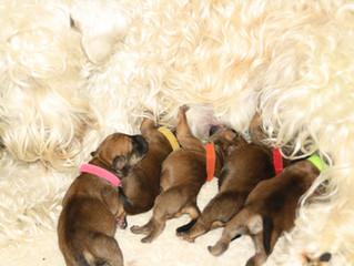 Puppies van Cara en Bosse zijn geboren op 22/23-04-2017 Puppies of Cara and Bosse are born at 22/23-