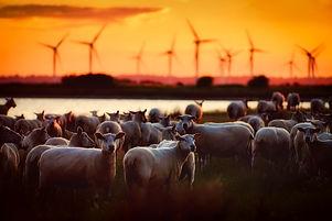 Canva - Herd of Sheep.jpg