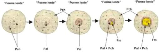 Schema del processo di diffusione di Mal dell'Esca (Trichoderma e Mal dell'Esca)
