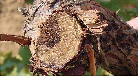 Sintomi su tronco di Mal dell'Esca (Trichoderma e Mal dell'Esca)