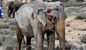 Elefanta Gottani.jpg