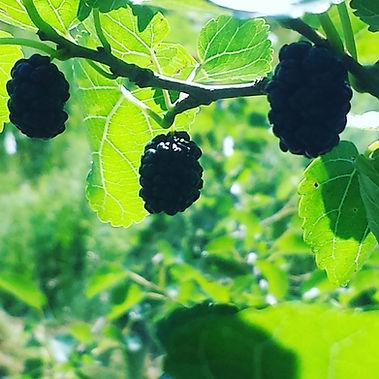 Mulberries summer