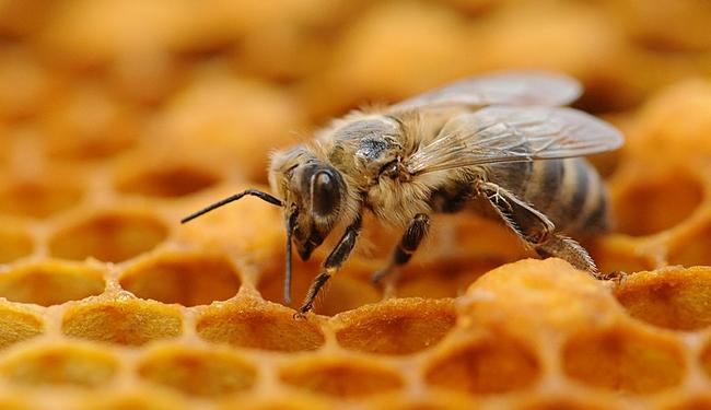 Μέλισσα εργάτρια