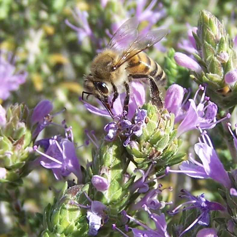 bee on thyme1.jpg