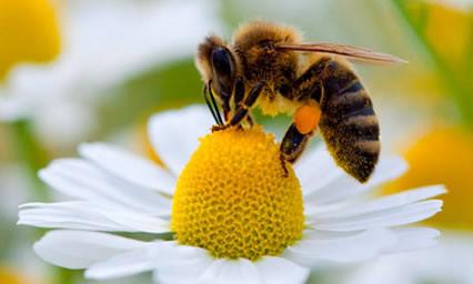 Πως βρίσκουν την τροφή τους οι μέλισσες;